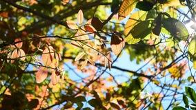 Translucent leaf swaying on tree stock video