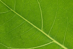 Translucent leaf Stock Photos