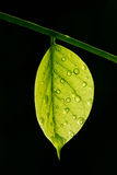 Translucent leaf with water drops on black backgro Stock Images