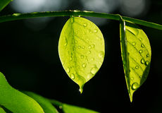 Translucent leaf with water drops on black background Stock Image