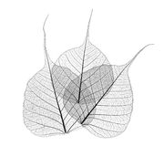 Translucent leaves. Black and white translucent overlapping leaves on white background Royalty Free Stock Images