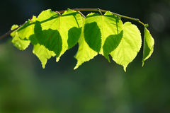 Translucent leaves backlit Royalty Free Stock Images