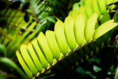 Translucent leaves and fresh green leaf Royalty Free Stock Photo