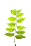 Translucent leaves#3 Royalty Free Stock Photography