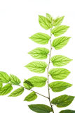 Translucent leaves#2 Royalty Free Stock Photography