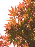 Translucent Maple Leaves. Backlight red and green Japanese maple leaves Stock Photo