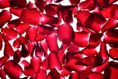 Translucent red Rose petals background Stock Images