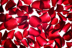 Translucent red Rose petals background Royalty Free Stock Photography
