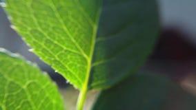 Translucent rose leaf