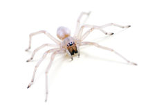 Translucent Spider on white. Long legged sac spider (black-footed spider) - Cheiracanthium mildei of Miturgidae family. Commonly found in buildings and homes Stock Photography