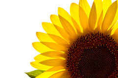 Translucent sunflower Stock Photo