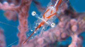Transluent Gorgonian Shrimp stock video footage