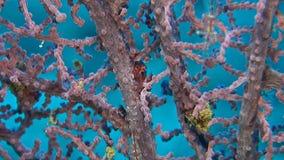 Transluent Gorgonian Shrims. Transluent Gorgonian Shrimp. Manipontonia psamathe, Commensal shrimp, Palaemonidae stock footage
