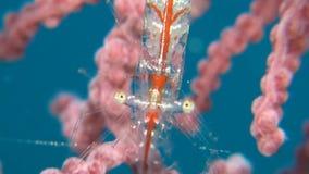 Transluent Gorgonian Shrims. Transluent Gorgonian Shrimp. Manipontonia psamathe, Commensal shrimp, Palaemonidae stock video footage