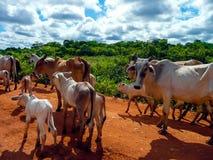 Transpantaneira. Cowboys with a heard of cows on the transpantaneira in Pantanal, brazil Stock Photo