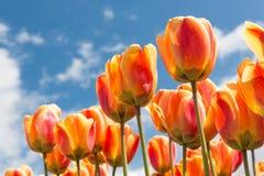 Transparant橙色和黄色郁金香有春天背景 免版税库存照片