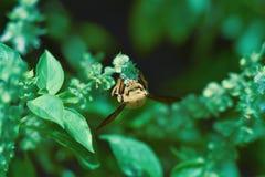 Transparante en pluizige bruine vleugelswesp overal zijn lichaam dat op bloemen wordt neergestreken royalty-vrije stock foto