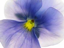 Transparante heartsease Stock Fotografie