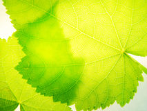 Transparency. Leaves of a room linden Royalty Free Stock Photo