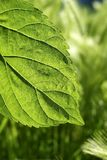 Transparency mulberry leaf green nature macro. Transparency in mulberry leaf silworms food green spring nature macro Stock Photo