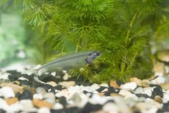 Transparent aquarium fish. Aquarium fish ghost glass catfish royalty free stock photo