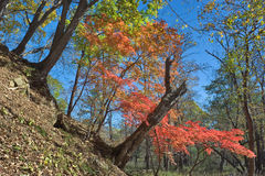 Transparent autumn forest-3. Royalty Free Stock Photos