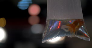 In transparent bag with water is swimming goldfish. In the background seen night city with shining lights stock video
