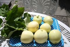 Transparent Blanche apples - a summer apple very sweet and delicious Royalty Free Stock Photo