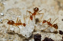 Transparent brown ants with 2 antennas on the head. And some feathers on the body approaching sugar stock photo