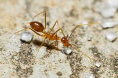 Transparent brown ants with 2 antennas on the head. And some feathers on the body approaching sugar royalty free stock photo