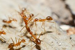 Transparent brown ants with 2 antennas on the head. And some feathers on the body approaching sugar royalty free stock image