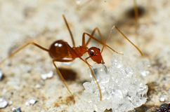 Transparent brown ants with 2 antennas on the head. And some feathers on the body approaching sugar royalty free stock photography