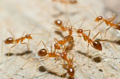 Transparent brown ants with 2 antennas on the head. And some feathers on the body approaching sugar stock photography