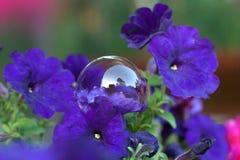 Transparent bubble lying on a purple petunia flower Stock Image