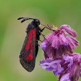 Transparent Burnet moth Zygaena purpuralis on purple flower Stock Images
