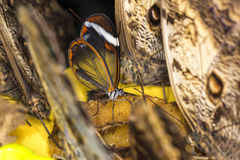 Transparent butterfly Royalty Free Stock Images