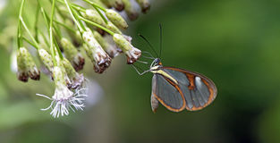 Transparent butterfly pollinating flower Royalty Free Stock Photo