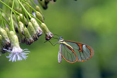 Transparent butterfly pollinating flower Stock Images