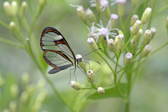 Transparent butterfly pollinating flower Royalty Free Stock Images