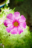 Transparent Cosmos Sensation Flower Royalty Free Stock Photo