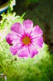 Transparent Cosmos Sensation Flower. Cosmos Sensation Transparent Flower in my Garden royalty free stock photo