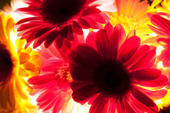 Transparent Daisies Royalty Free Stock Images