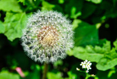 Transparent dandelion. A transparent dandelion in a garden Royalty Free Stock Images