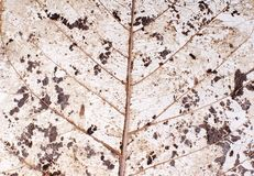 Transparent leaf. Transparent decaying leaf showing leaf veins and skeleton structure on white background Royalty Free Stock Photo