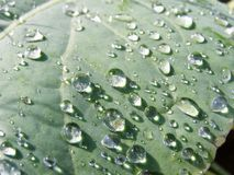 Transparent drops on leaf - close up Royalty Free Stock Photography