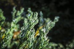 Free Transparent Drops Of Freezing Rain Cover The Needles Of The Juniperus Squamata Blue Carpet. Selective Focus. Stock Images - 132864864