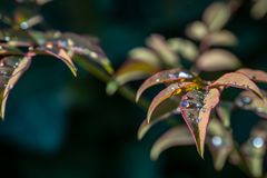 Transparent drops of rain on the graceful leaves of the Nandina domestic or Heavenly Bamboo. Sunny day. Macro. Selective focus. Chic backdrop for any design royalty free stock images