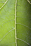 Transparent fig leaf. Detail of transparent fig leaf Stock Photos