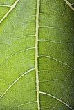 Transparent fig leaf Stock Photos