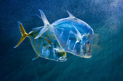 Transparent fish Royalty Free Stock Image